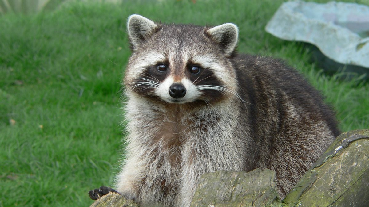 Nature Nearby: Masked bandits suffer loss of territory
