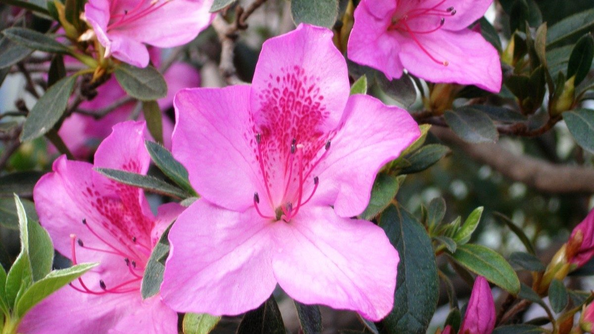 Miss Floribunda: Your azalea can be saved