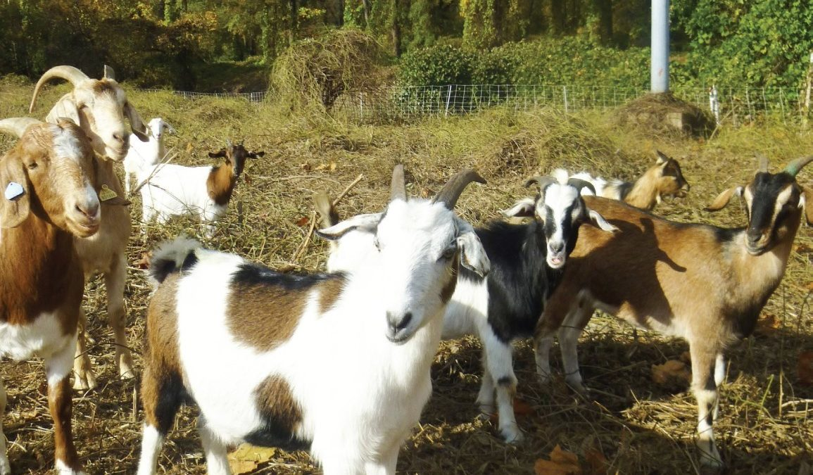 Eco goats clear ground, spread cheer