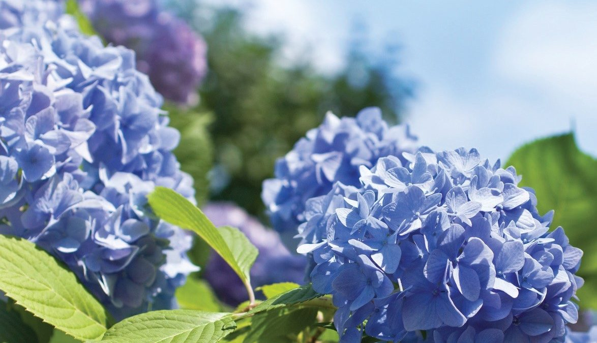 Miss Floribunda: In search of blue flowers for landscaping
