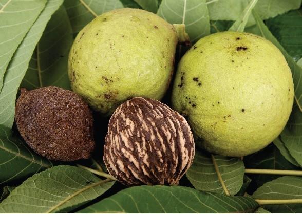 Miss Floribunda: Walnut tree sabotaging other plants