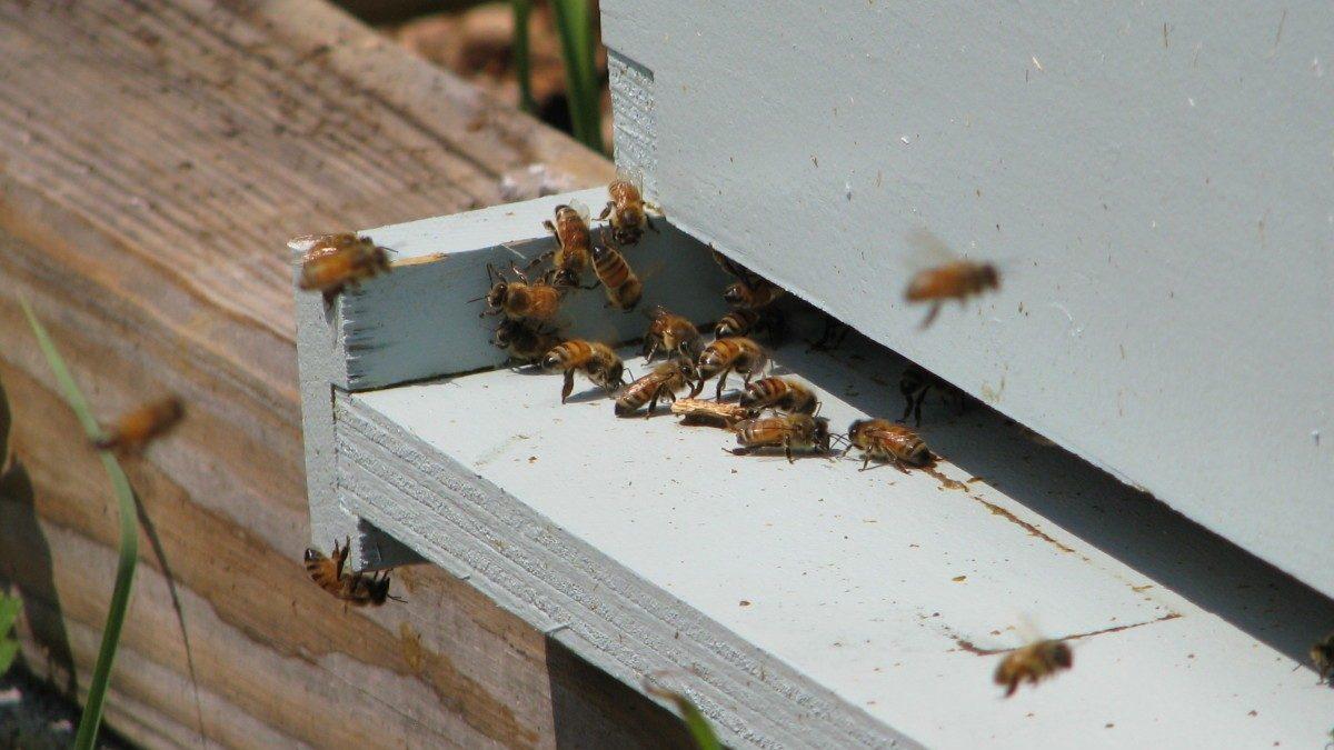 Bringing bees back to Hyattsville