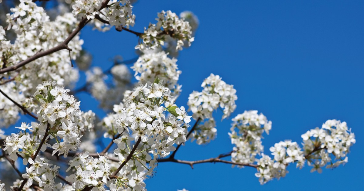 My Two Cents: The Bradford Pear — beauty or beast?