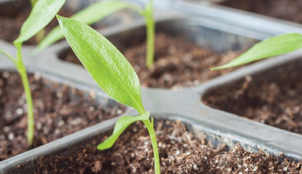 Miss Floribunda: Starting seeds indoors