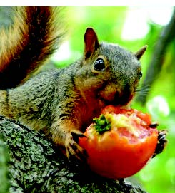 Miss Floribunda: Outfoxing the squirrels who want your tomatoes